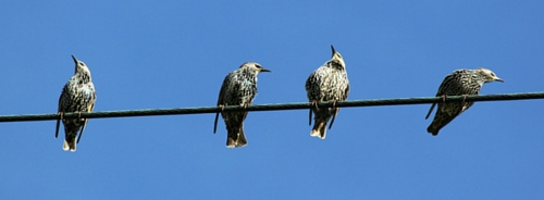 starlings-looking-in-different-directions-on-wire-500x184